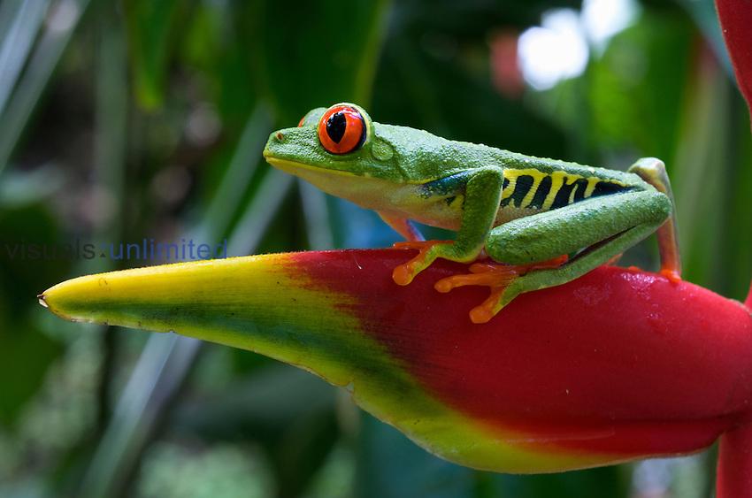 Red-eyed Tree Frog (Agalychnis callidryas), Costa Rica