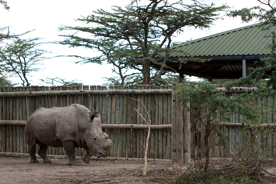 A Northern White Rhino at the Ol Pejeta Conservancy Laikipia, Kenya on January 17, 2010. On December 20, 2009, four of the world's last eight known surviving northern white rhinos were relocated from captivity back to the wild in a last bid to save them from extinction. The four rhinos, two males and two females, named Sudan, Suni, Fatu and Najin - were transferred by air from Dvur Králové Zoo in the Czech Republic to the Ol Pejeta Conservancy in Laikipia, Kenya. It is thought that the climatic, dietary and security conditions that the rhinos will enjoy at Ol Pejeta will provide them with higher chances of starting a population in what is seen as the very last lifeline for the species. Photo credit: Benedicte Desrus