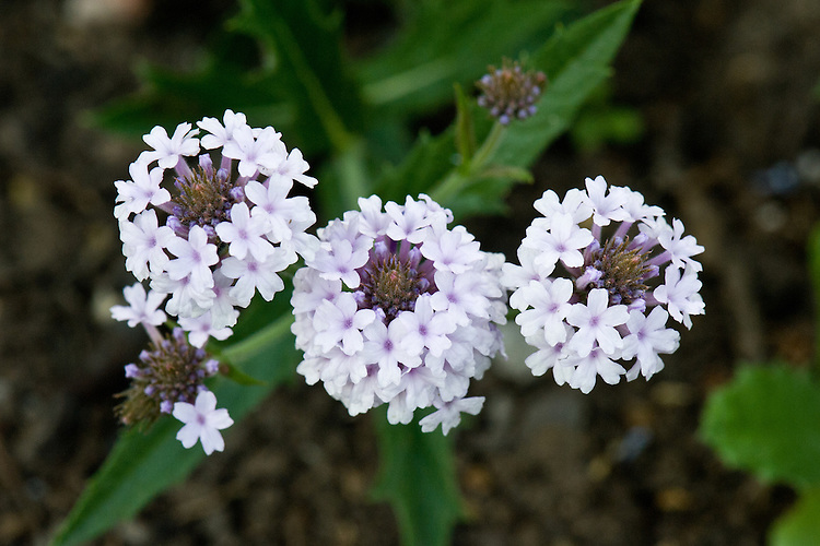 Verbena rigida f. lilacina 'Lilac Haze', also known as Slender vervain, end June.