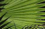 Washingtonian palm leaf,Tenerife, Canary Islands.