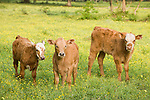 Brazoria County, Damon, Texas; three calves standing in a field of yellow wildflowers