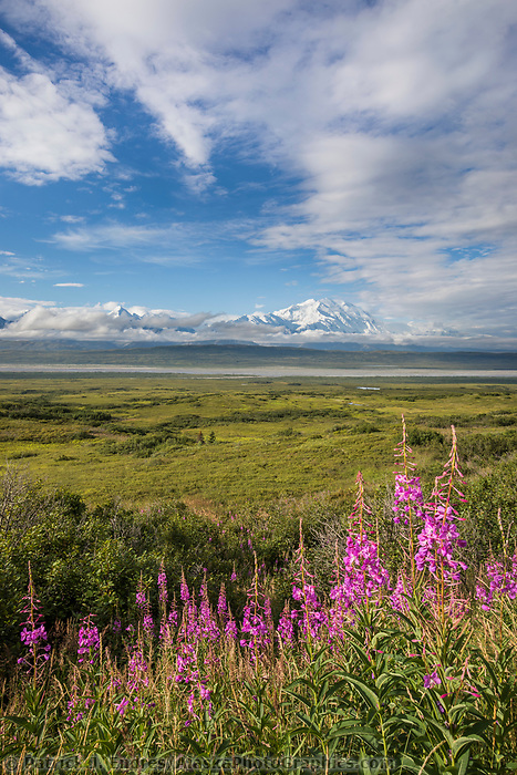 Pink blossoms of fireweed and the green summer tundra with Mt. Denali in the distance behind the McKinley River Bar, Denali National Park, Alaska