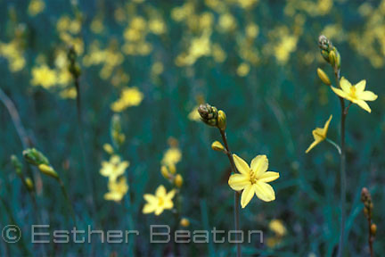 Bulbine Lily (Bulbinopsis bulbosa) Fam: Lilia. Southeastern Australia. Bulbs eaten by aborigines.