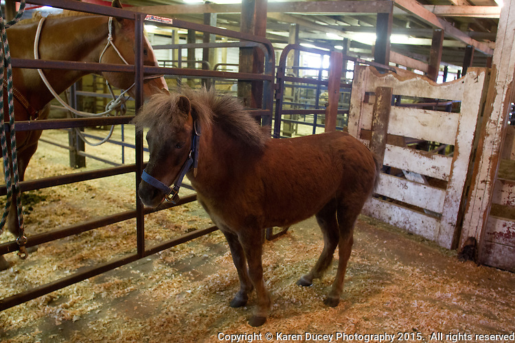 A 16-year-old Shetland pony waits in a stall prior to being auctioned off at the Enumclaw Sale Pavilion in Enumclaw, Wash. on May 9, 2015. Horses and ponies are considered livestock by law and are not treated under the same protections as domestic pets. Strays are required to be sent to a live public auction. If a bidder does not come forward to save them, they are sent to slaughter in Mexico and Canada. (photo © Karen Ducey Photography)