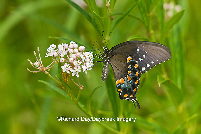 03029-01409 Spicebush Swallowtail butterfly (Papilio troilus) on Swamp Milkweed (Asclepias incarnata) Marion Co., IL