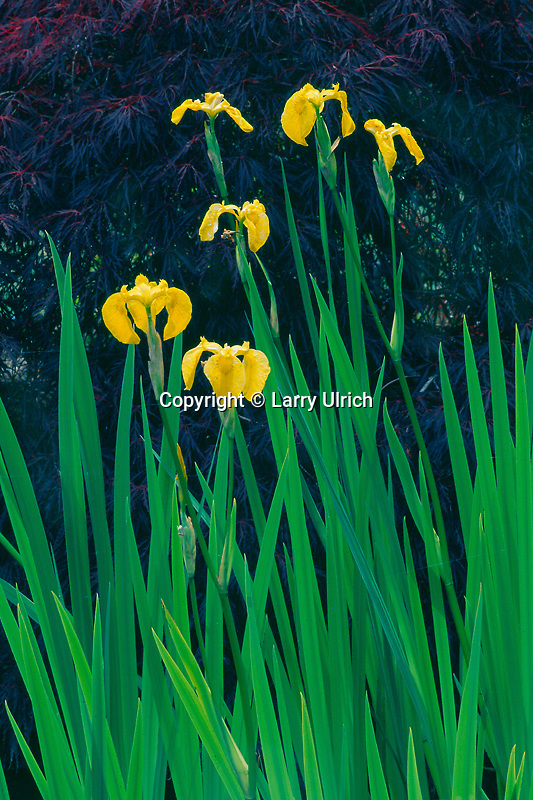 Yellow water iris in private garden<br />