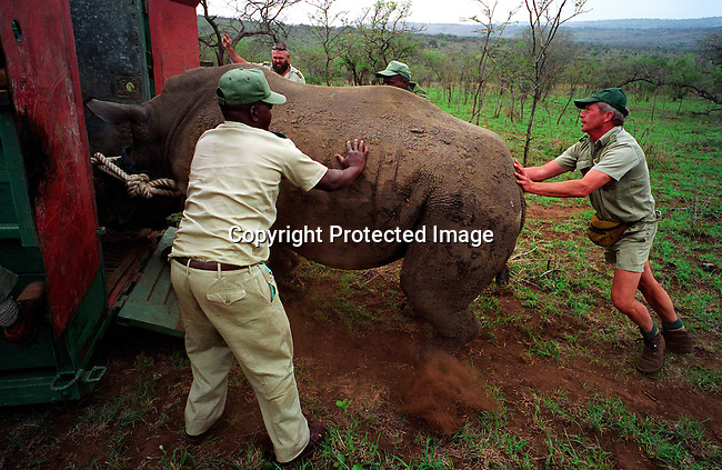 diwlauc00033.Digital. Wildlife. Auctions. Members of  Kwa Zulu Natal Wildlife units lures a white Rhino into a container, after it has been captured and tranquilized on October 2, 2003 in Hluhluwe-iMfolozi National Park in Natal, South Africa. The rhino were bought on the yearly wildlife auction in June 2003 by an international buyer representing Kolm?rden, a Swedish Zoo. The park has a surplus of animals and some are sold each year to finance wildlife conservation and to stop poaching. .©Per-Anders Pettersson/iAfrika Photos..