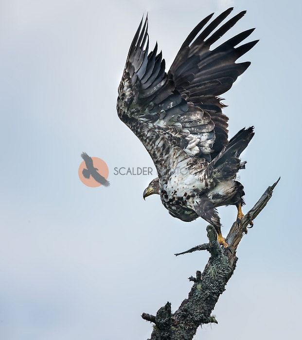 Juvenile Bald Eagle, wings aloft, taking off from dead tree on overcast day