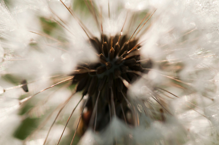 Dandelion, Taraxacum officinale, seed in traditional hay meadow. Clattinger Farm, Wiltshire. UK. This habitat has been reduced by 98% in the UK since the Second World War. This is largely due to the intensification of farming practices.