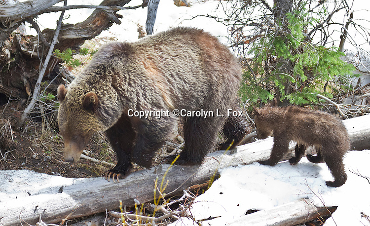 Grizzly Bear Sow and Cub walk in the snow outside Dubois, Wyoming, close to Yellowstone National Park.