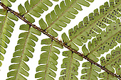 Scaly Male-fern - Dryopteris affinis