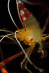 Golden Coral Shrimp, Stenopus hispidus
