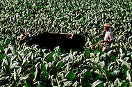 Cuba, March 1992: Plowing for weeding in a tobacco field before harvesting, in Vinales area, Cuba.