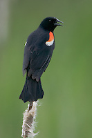 Red-winged Blackbird (Agelaius phoeniceus) - Male perching on a cattail