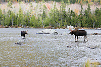 #M52 Bull Moose with Cow in Pond