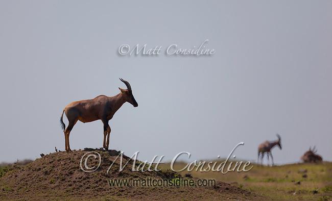 Topi standing on a termite mound keeping watch for predators Masai Mara, Kenya, Africa (photo by Wildlife Photographer Matt Considine)