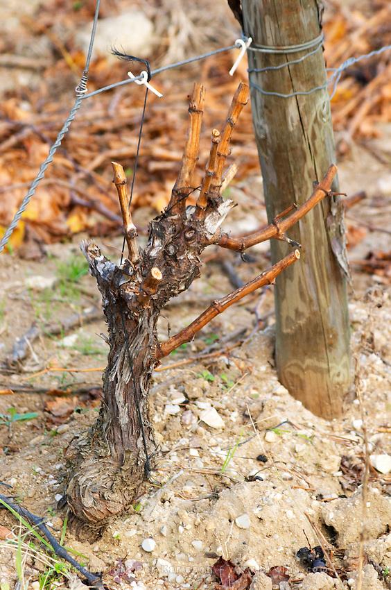 Domaine Jean Baptiste Senat. In Trausse. Minervois. Languedoc. Vines trained in Gobelet pruning. Old, gnarled and twisting vine. Vineyard in winter. France. Europe. Vineyard.