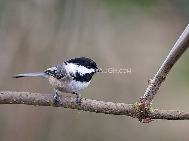 Black-capped chickadees are commonly seen at Reifel Bird Sanctuary.