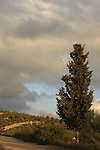 Israel, Jerusalem Mountains, a Cypress tree by Diefenbaker road