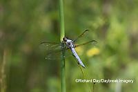 06618-00207 Yellow-sided Skimmer (Libellula flavida) male in fen Ripley Co. MO