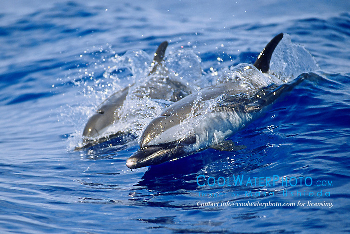pantropical spotted dolphins, mother and calf, Stenella attenuata, wake-riding, Kona Coast, Big Island, Hawaii, USA, Pacific Ocean