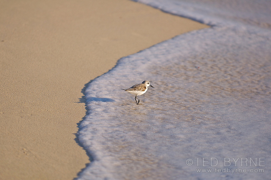 Sandpiper walking at the waterline on a sandy beach