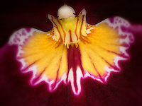 Close up of Moth Orchid (Phalaenopsis). Oregon
