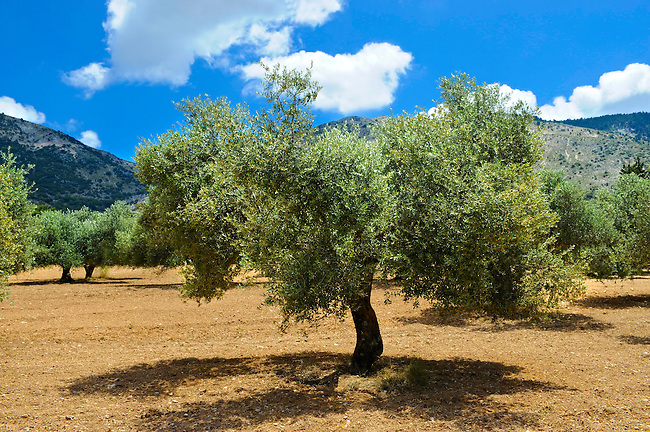 Some of the Olive Trees that cover 55% of Kefalonia, Ionian Islands, Greece.