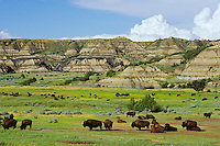 MB211  Bison herd, Theodore Roosevelt National Park, North Dakota.  Summer.