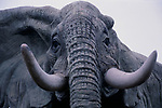 A913NA Head and tusks of a life size model elephant, Colchester zoo, Essex, England