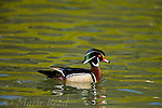 Wood Duck  (Aix Sponsa) male, breeding plumage, Orange County CA