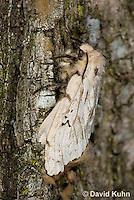 0110-0919  Gypsy Moth, Lymantria dispar  © David Kuhn/Dwight Kuhn Photography