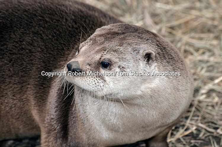 North American River Otter medium shot