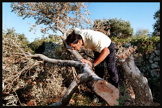 Samir Sultan kisses one of his cut olive trees in the West Bank village of Hares, at night Israeli Army put his Village under curfew and cut as much as 400 olive trees, part of them more than 100 years old. Samir received the olive trees orchard from his mother. Photo by Quique Kierszenbaum