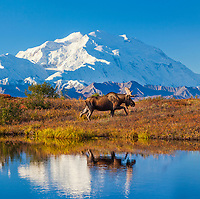 DIGITAL COMPOSITE: (sky added) Bull moose reflection in a small kettle pond with the summit of Denali in the distance, Denali National Park, Alaska.