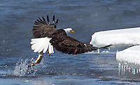 A bald eagle hauls a trout onto shore.  This image would not work well at larger sizes.