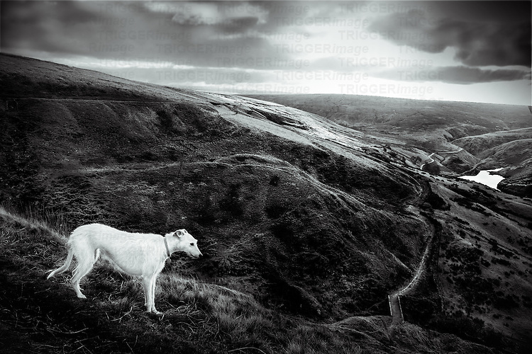 White lurcher dog on the moors in the Wessenden Valley West Yorkshire with footpath receding into distance reservoir in background.  Morning winter light cloudy sky.