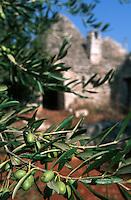 Europe/Italie/La Pouille/Env d'Alberobello: Trulli et oliviers