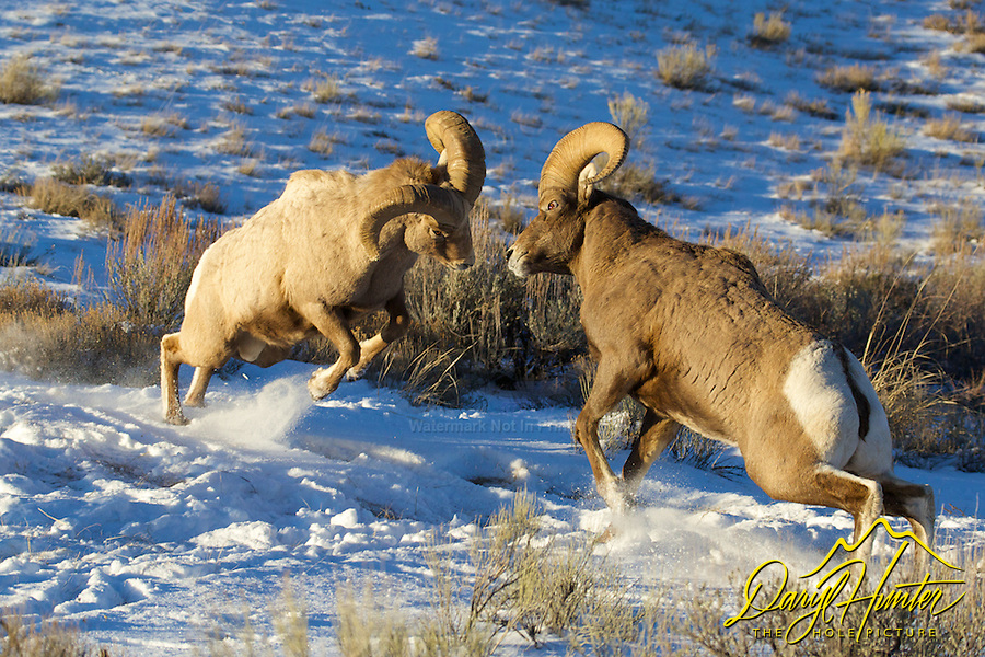 Fighting Bighorn Rams, Miller Butte, National Elk Refuge, Jackson Hole, Wyoming
