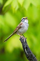 white-throated sparrow, Zonotrichia albicollis, singing, Nova Scotia, Canada