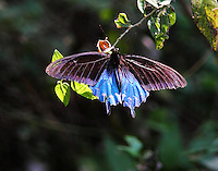 Male pipevine swallowtail