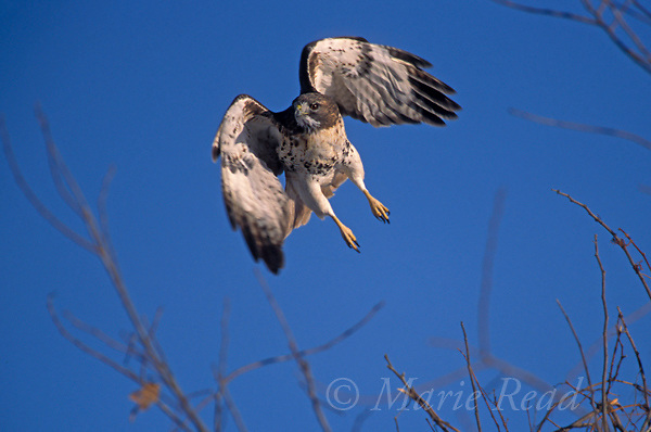 Red-tailed Hawk (Buteo jamancensis) adult taking flight, New York, USA<br /> Slide # B27-502