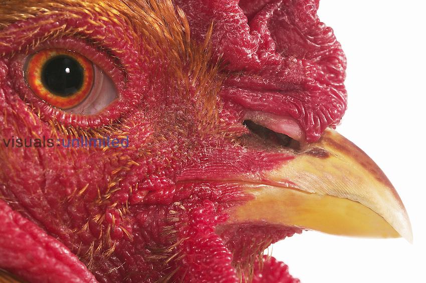 Brahman male domestic chicken eye, beak, and comb.