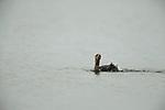 Neotropic Cormorant (Phalacrocorax brasilianus) bathing, Ibera Provincial Reserve, Ibera Wetlands, Argentina