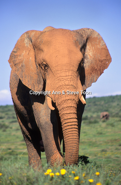 Elephant, Loxodonta africana, bull caked in orange earth, Addo national park, South Africa
