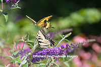 03023-02919 Eastern Tiger Swallowtail Butterfly (Papilio glaucus) on Butterfly Bush (Buddleia davidii) Giant Swallowtail Butterfly in background, Marion Co., IL