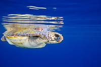 loggerhead sea turtle, Caretta caretta, 12 miles offshore of San Diego, California, USA, Pacific Ocean
