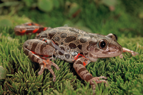 Red-legged Running Frog (Kassina maculata)..Eastern Africa lowlands from South Africa to Kenya..Captive.