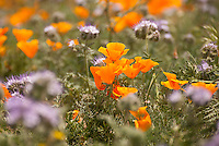 Poppies, Antelope Valley