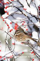01575-015.20 Song Sparrow (Melospiza melodia) in Common Winterberry (Ilex verticillata) in winter, Marion Co. IL